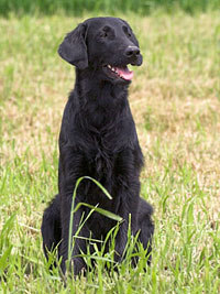 Chelsea aus Thörishaus (Flat Coated Retriever)